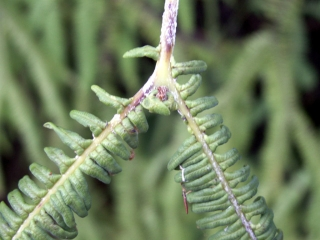 Sticherus flagellaris.