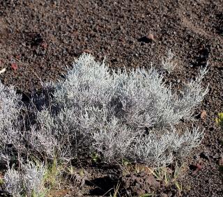 Stoebe passerinoides (Lam.) Willd. Branle blanc.