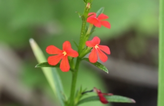 Striga asiatica. Fleurs.