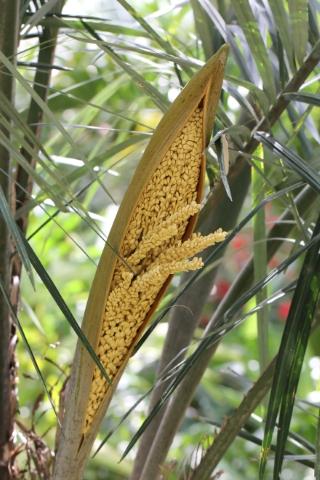 Syagrus coronata (Mart.) Becc.