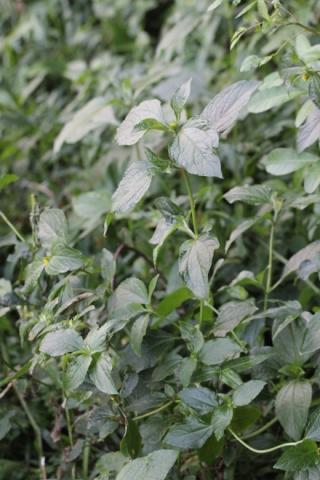 Synedrella nodiflora (L.) Gaertn.