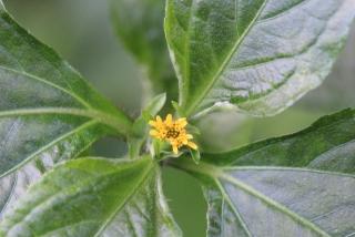 Synedrella nodiflora. Capitule.