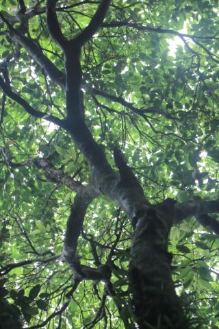 Syzygium borbonicum J. Guého et A.J. Scott. Bois de pomme rouge.