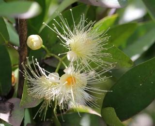 Syzygium samarangense. Fleurs.