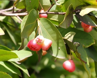 Syzygium samarangense. Fruits.