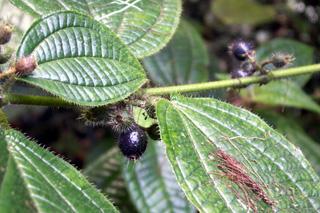 Fruits Tabac Boeuf. Clidemia hirta.