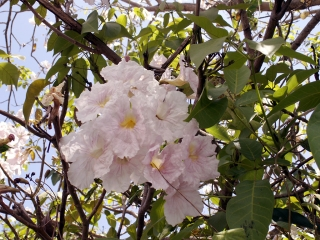 Tabebuia rosea. Fleurs.