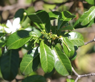 Tabernaemontana corymbosa Roxb.ex mur.
