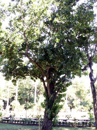 Calophyllum inophyllum L. Takamaka. Takamaka des bas.