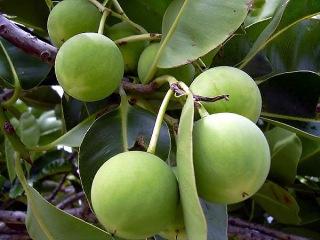 Calophyllum inophyllum L. Fruits Takamaka.