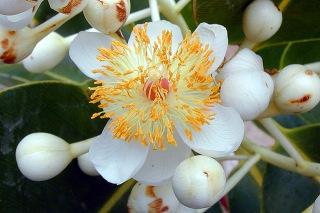 Calophyllum inophyllum L. Fleur Takamaka.