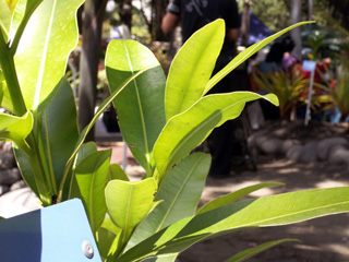 Calophyllum tacamahaca Willd. Takamaka des hauts ou takamaka rouge.