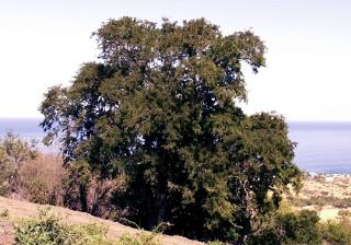 Tamarin tamarinier. Tamarindus indica L.
