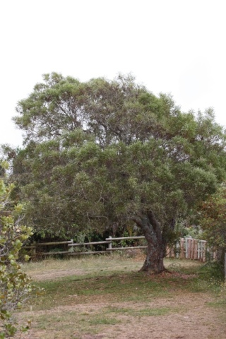 Acacia heterophylla Willd.