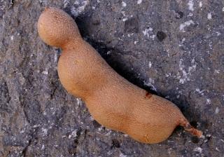 Gousse. Tamarindus indica L.