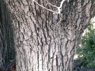 Tamarin des hauts. Acacia heterophylla.