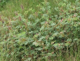 Tephrosia purpurea.