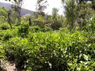 Camellia sinensis (L.) Kuntze.