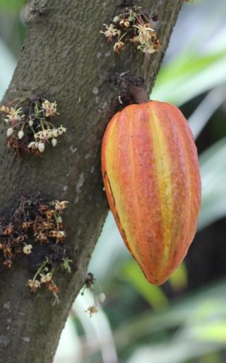 Theobroma cacao L. Cabosse.