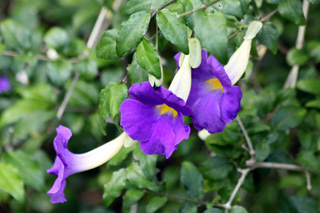 Thunbergia erecta (Benth.) T. Anderson.