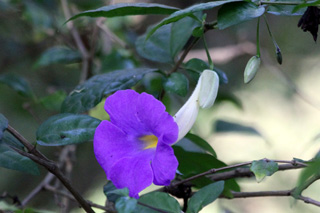 Thunbergia erecta (Benth.) T. Anderson. Fleur.
