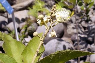 Croton mauritianus Lam.