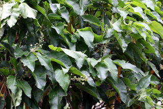 Croton mauritianus Lam. Feuilles.