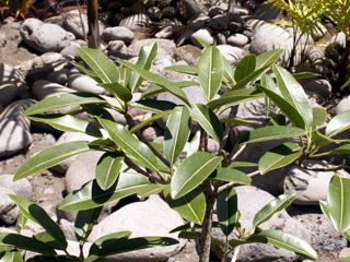 Labourdonnaisia calophylloides Bojer. Ti natte ou Petite natte.