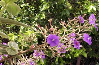Tibouchine à grandes feuilles - Tibouchina grandifolia.