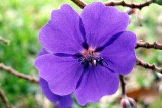 Fleur - Tibouchina grandifolia.