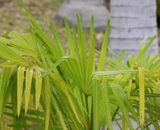 Trachycarpus fortunei (Hook.) H. Wendl.