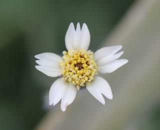 Tridax procumbens L.