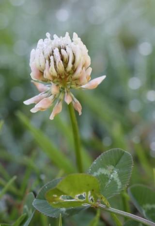Trifolium repens.