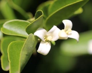 Triphasia trifolia (Burm. f.) P. Wilson.