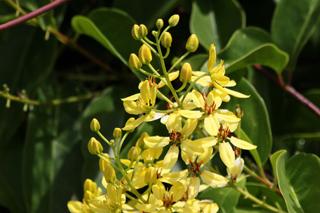 Fleurs : Tristellateia australasiae
