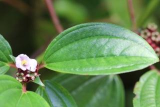 Tristemma mauritianum. Feuille.