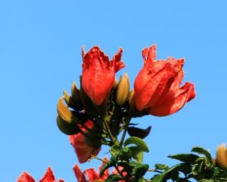 Spathodea campanulata. Fleurs.