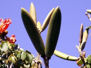 Spathodea campanulata. Fruits.