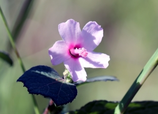 Urena lobata L. Fleur.