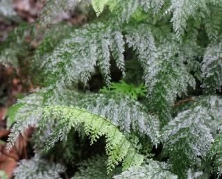Vandenboschia gigantea (Bory ex Willd.) Ebihara et Dubuisson.