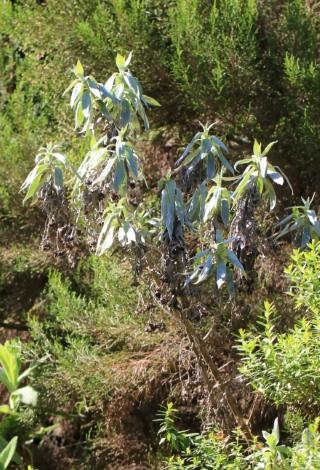 Helichrysum heliotropifolium (Lam.) DC. Velours blanc.