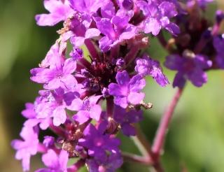 Verbena rigida Spreng. Fleurs.