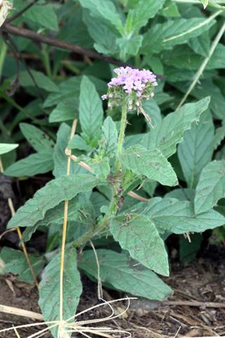 Heliotropium amplexicaule Vahl. Verveine marron.