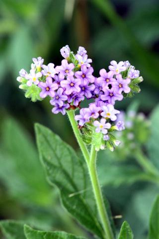 Heliotropium amplexicaule. Fleurs.