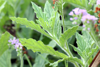 Heliotropium amplexicaule. Feuilles.