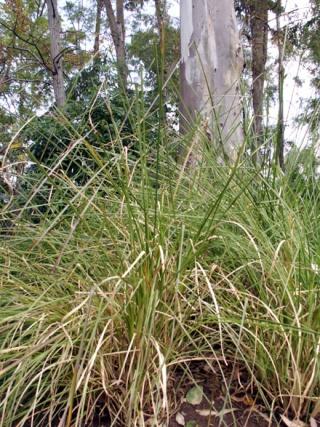 Chrysopogon zizanioides (L.) Roberty.