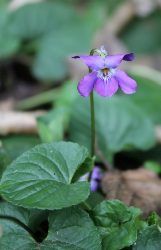 Viola odorata L. Violette.