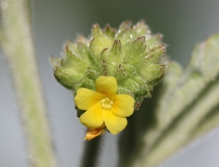 Waltheria indica L. Fleur.