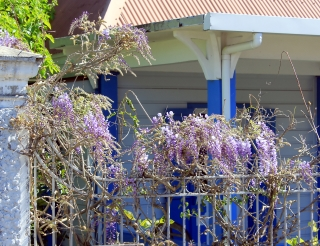 Wisteria sinensis (Sims) Sweet.