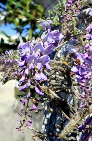 Wisteria sinensis. Glycine de Chine.